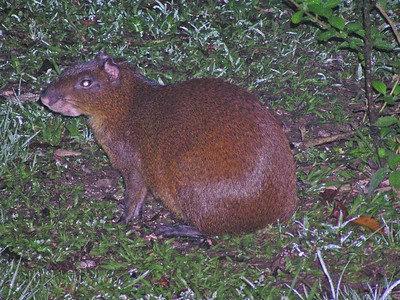 Agouti - Bosque de Paz Lodge