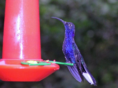 Violet Sabrewing - Bosque de Paz Lodge