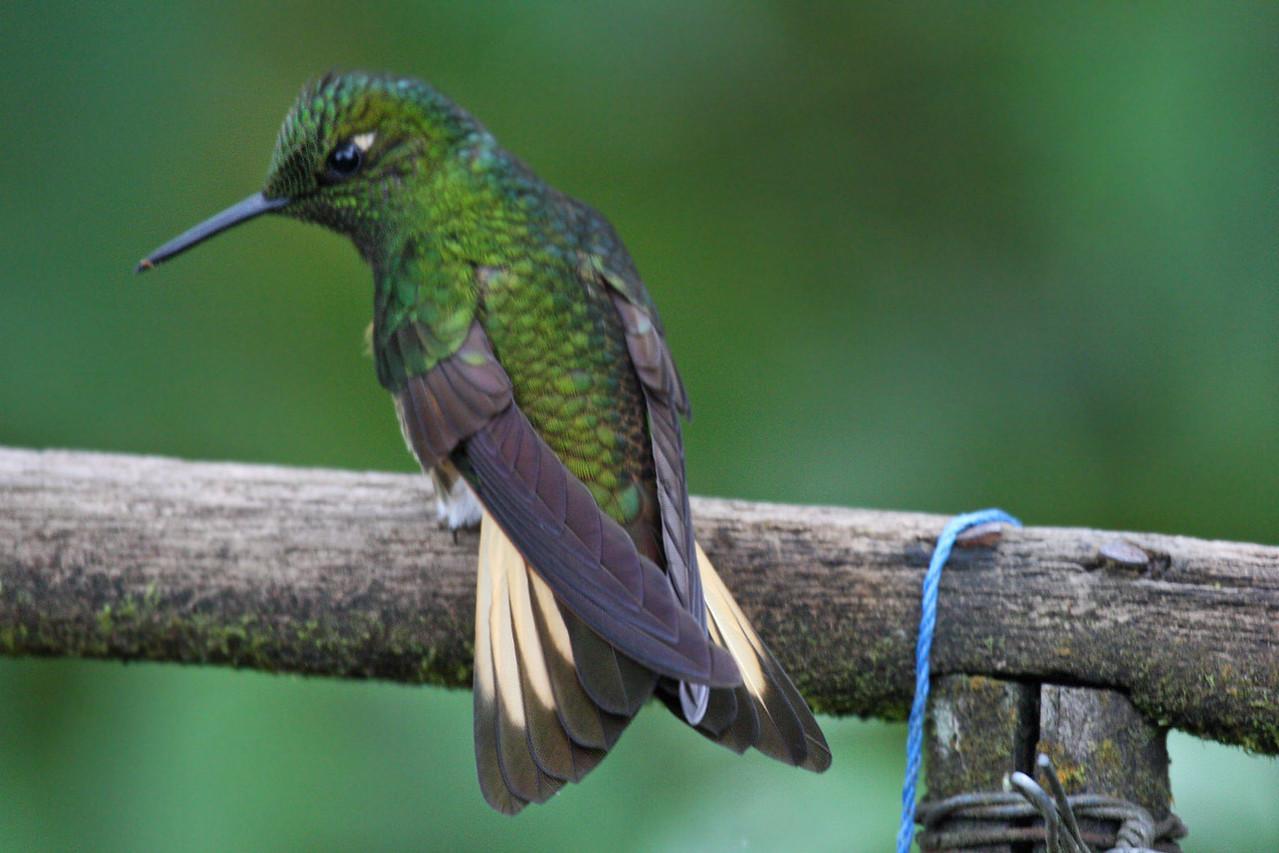 Buff-tailed Coronet - Bellavista Cloud Forest Reserve