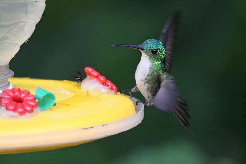 Andean Emerald - Paz de las Antipittas Reserve