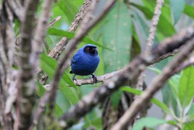 Masked Flowerpiercer - Yanacocha Reserve