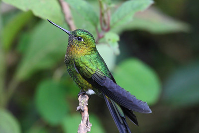 Ecuador - Hummingbirds and More. - March 2008