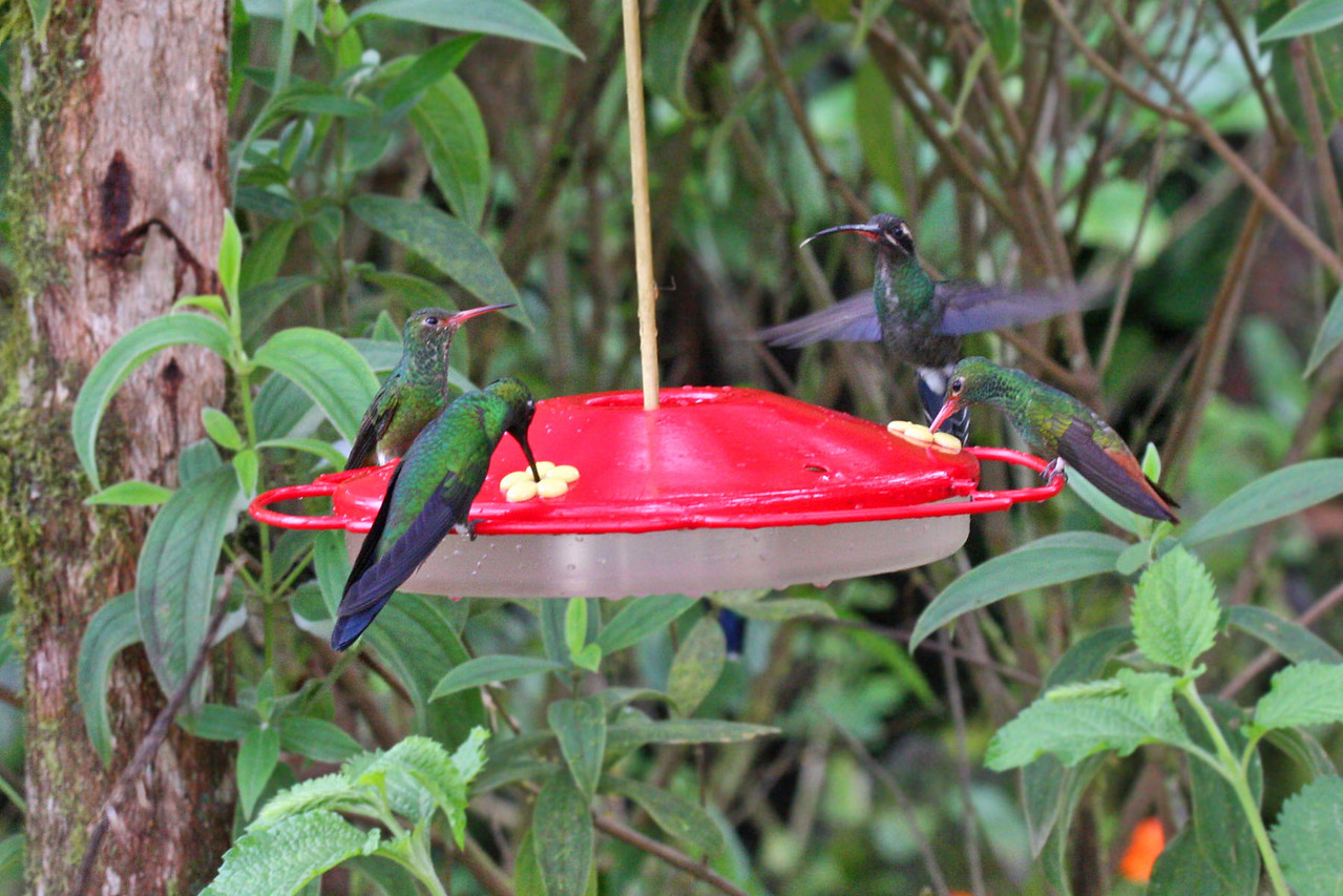 Rufous-tailed Hummingbird, Green-crowned Brilliant & White-whiskered Hermit