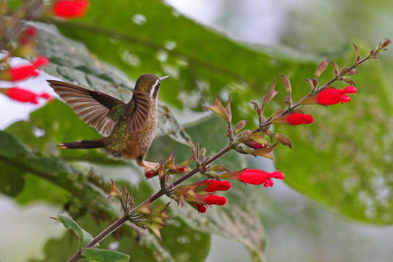 Speckled Hummingbird - Sacha Quinda