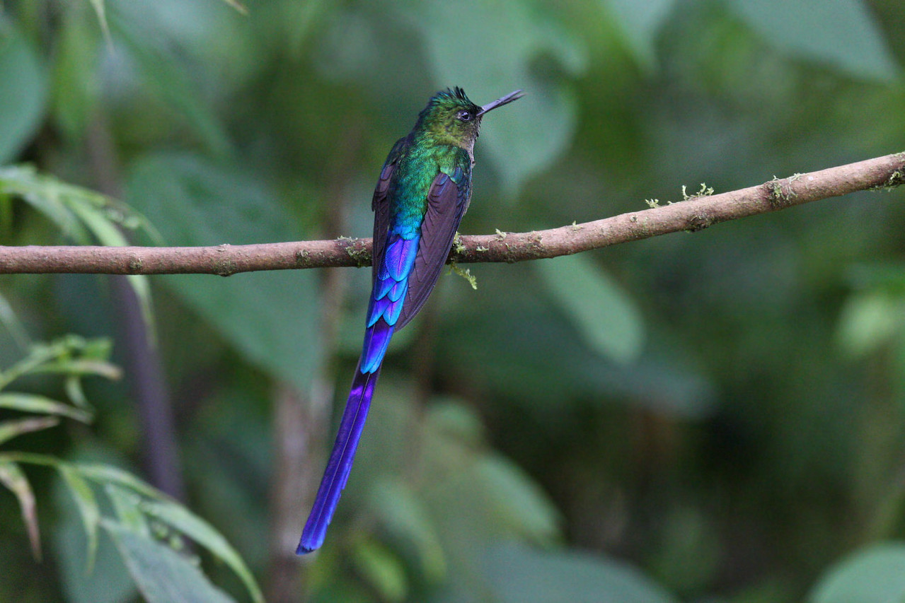 Violet-tailed Sylph (Male) - Paz de las Antipittas Reserve
