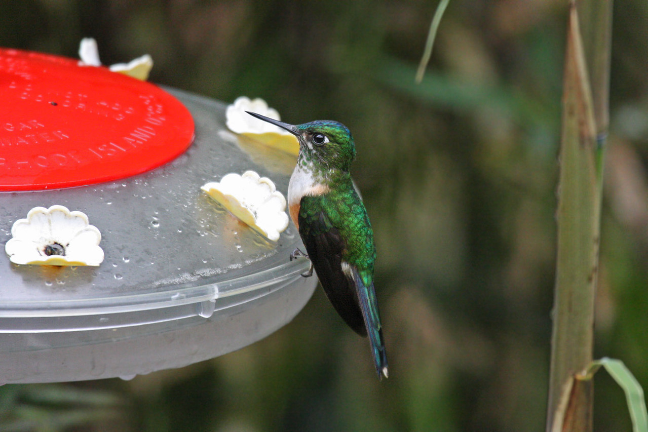 Violet-tailed Sylph (Female) - Septimo Paraiso Lodge