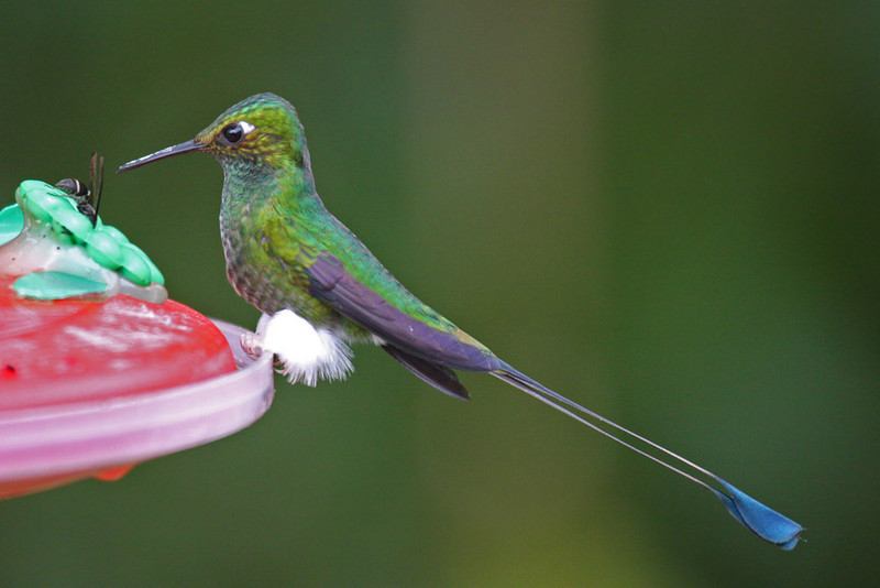 Booted Racket-tail (Male) - Paz de las Antipittas Reserve