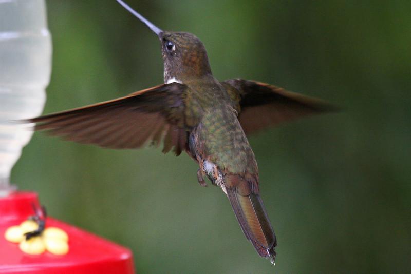 Brown Inca - Paz de las Antipittas Reserve
