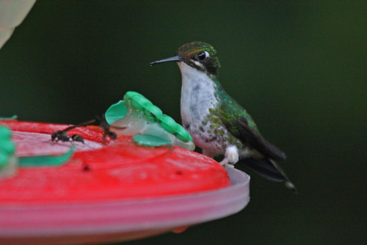 Booted Racket-tail (Female) - Paz de las Antipittas Reserve
