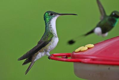 Andean Emerald - Sacha Quinda