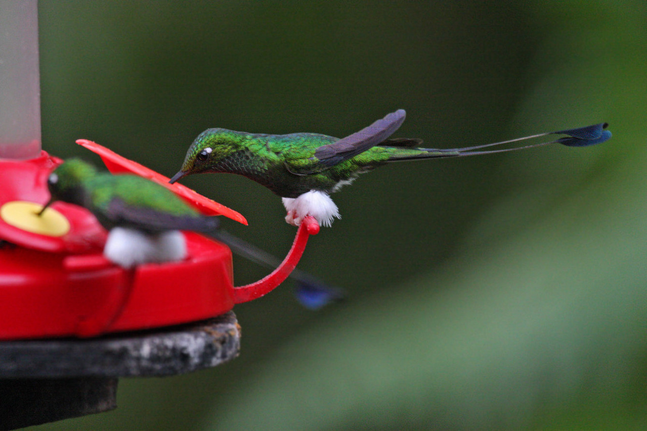 Booted Racket-tail (Male) - Bellavista Cloud Forest Reserve
