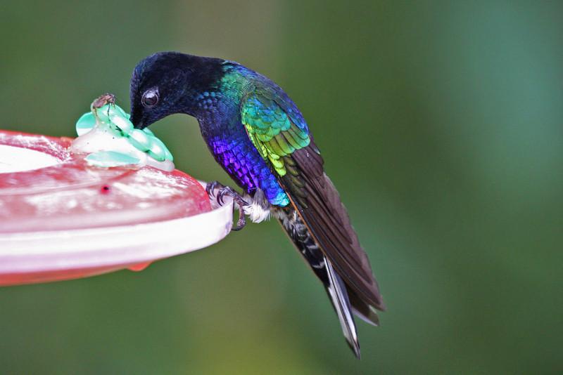 Velvet-purple Coronet - Paz de las Antipittas Reserve