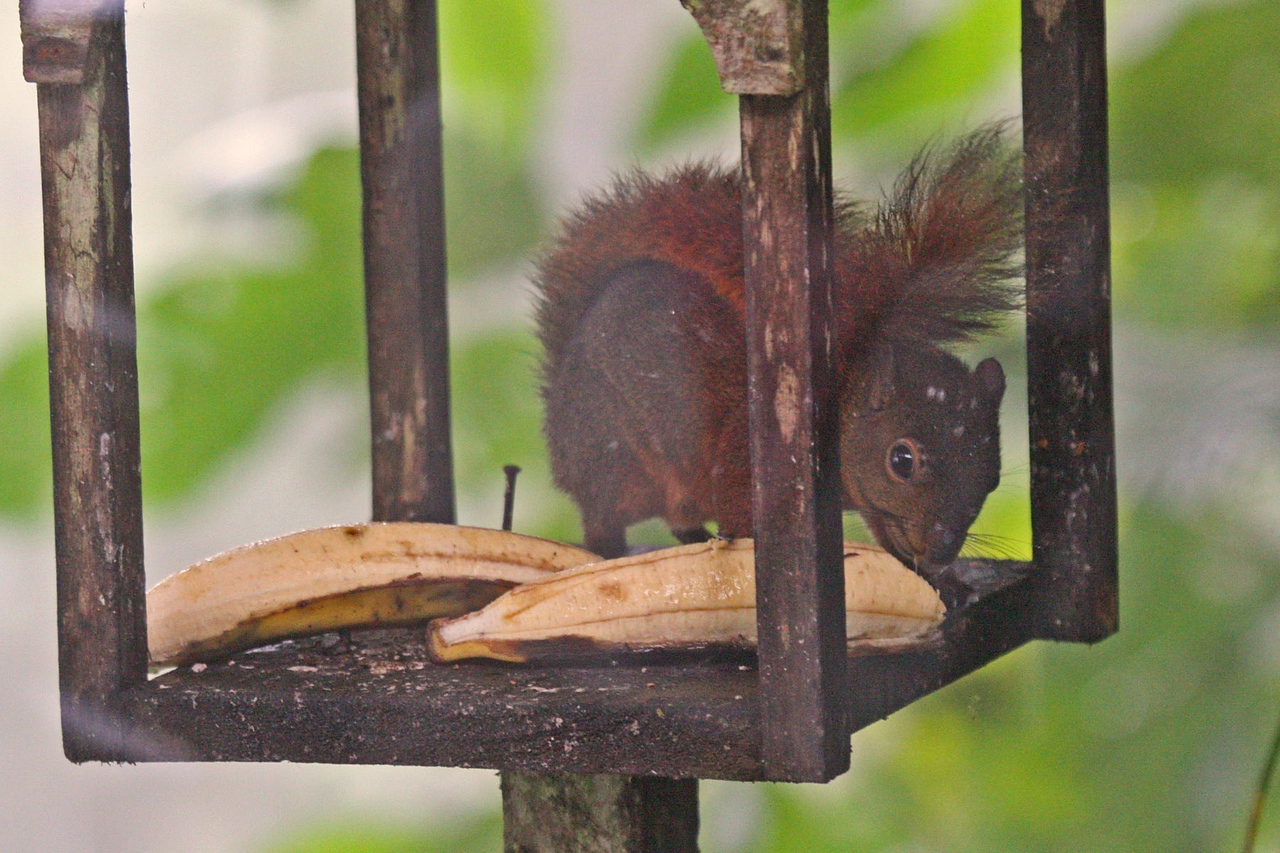 Tropical Redtail Squirrel - Rio Blanco Restaurant