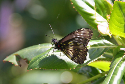 Butterfly - City Park in Quito