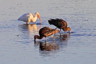 Glossy ibis & White Ibis