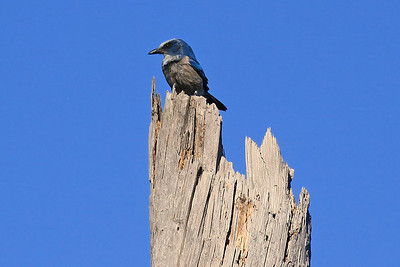 Florida Scrub-Jay - Ocala National  Forest