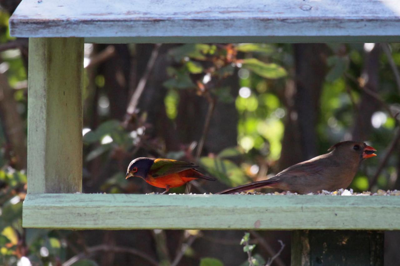 Painted Bunting & Northern Cardinal
