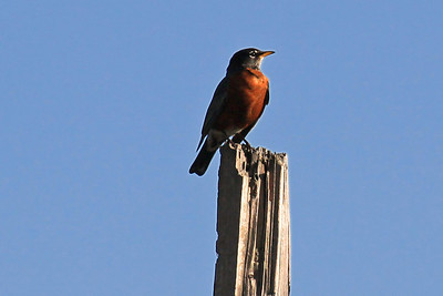 American Robin - Ocala National  Forest