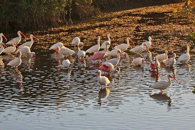 White Ibis & Roseate Spoonbill
