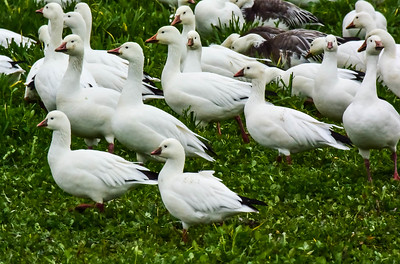 Snow Geese & Ross Geese (front)