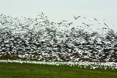 Snow/Ross Geese