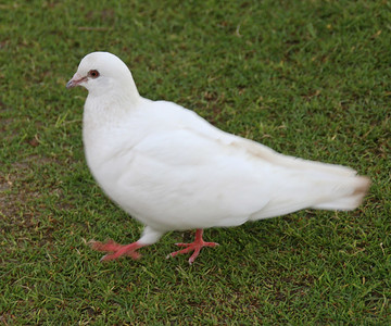 Rock Pigeon - Oahu