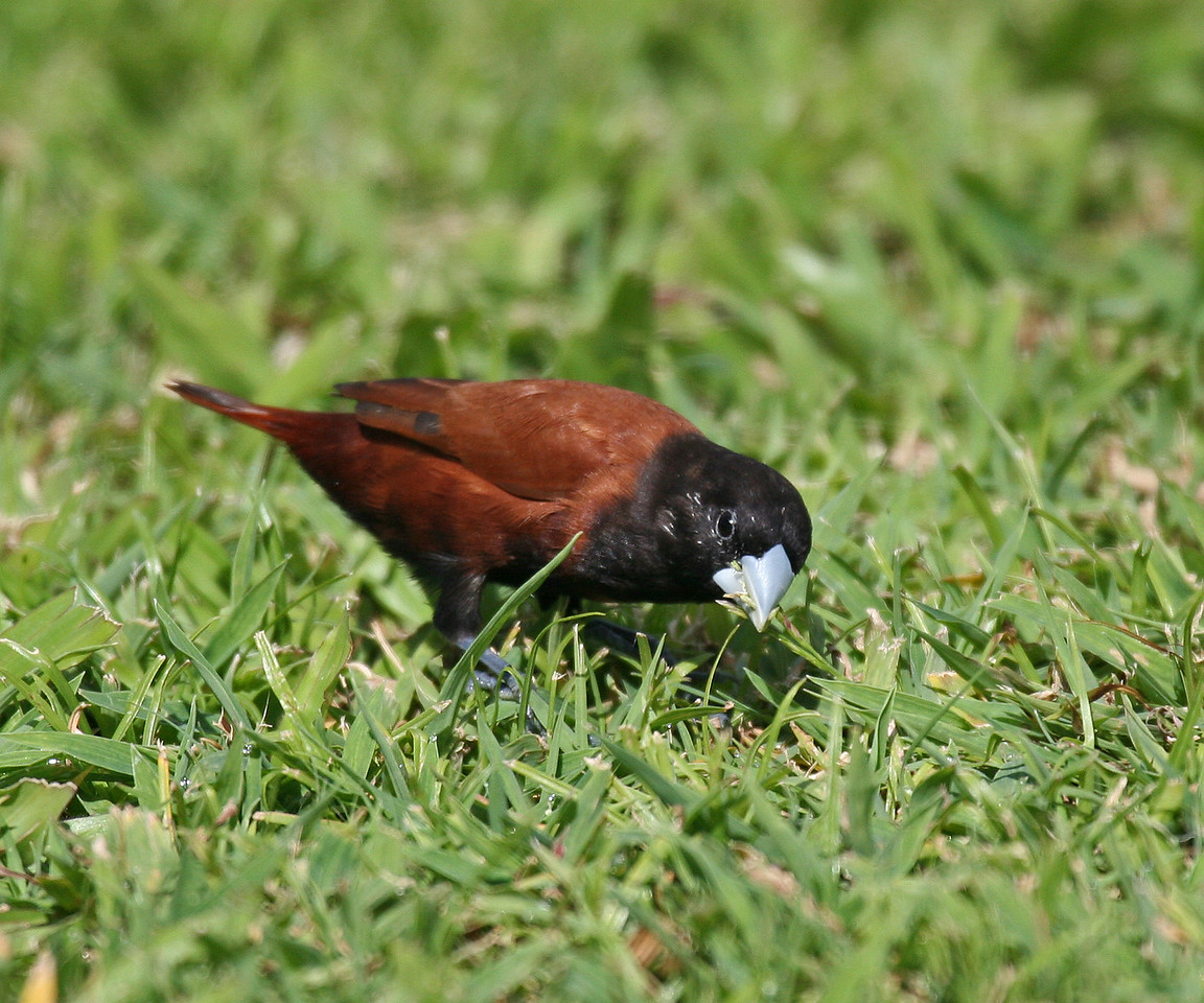 Chestnut Munia - Oahu