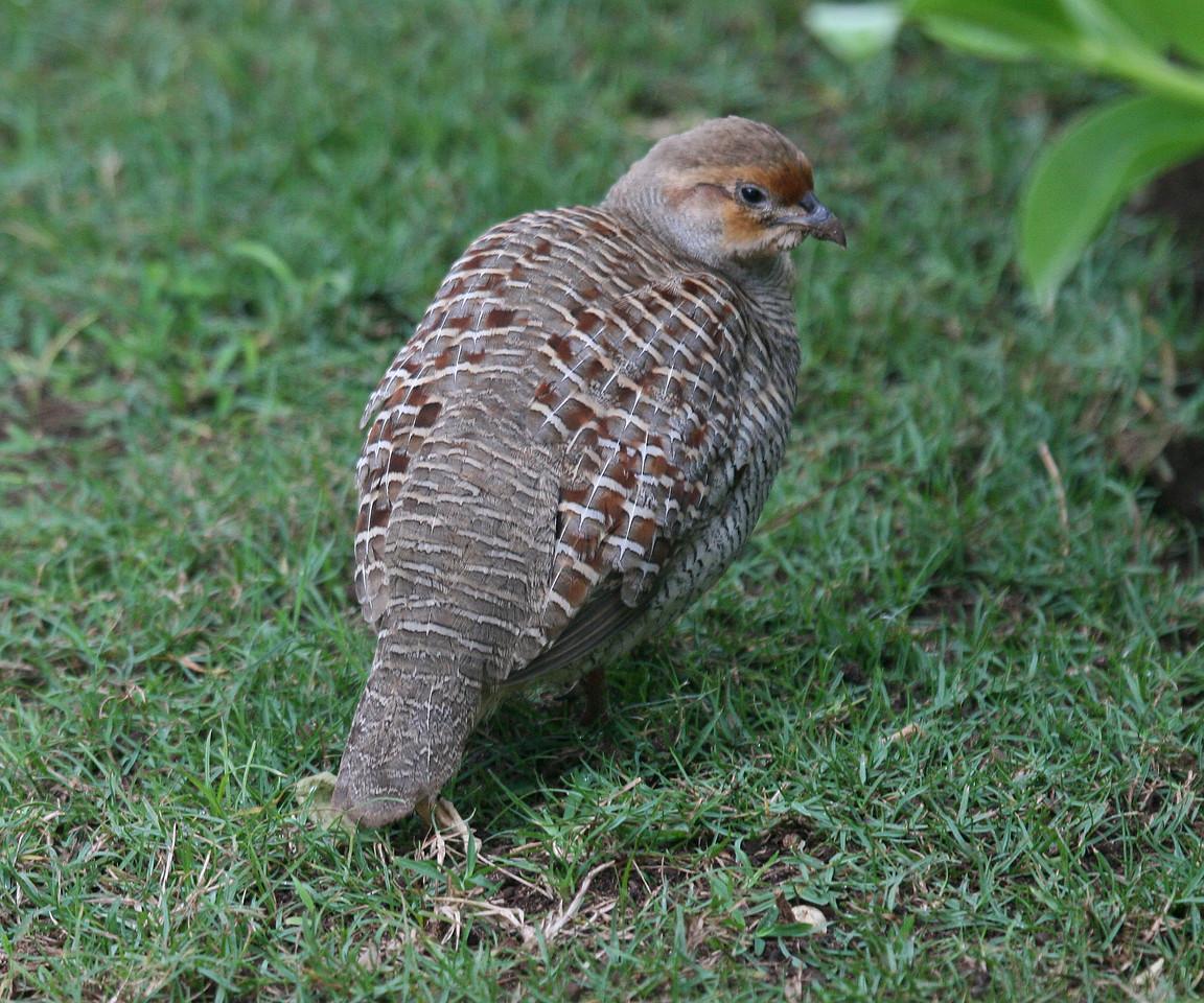 Gray Francolin - Maui