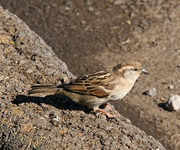 House Sparrow - Maui