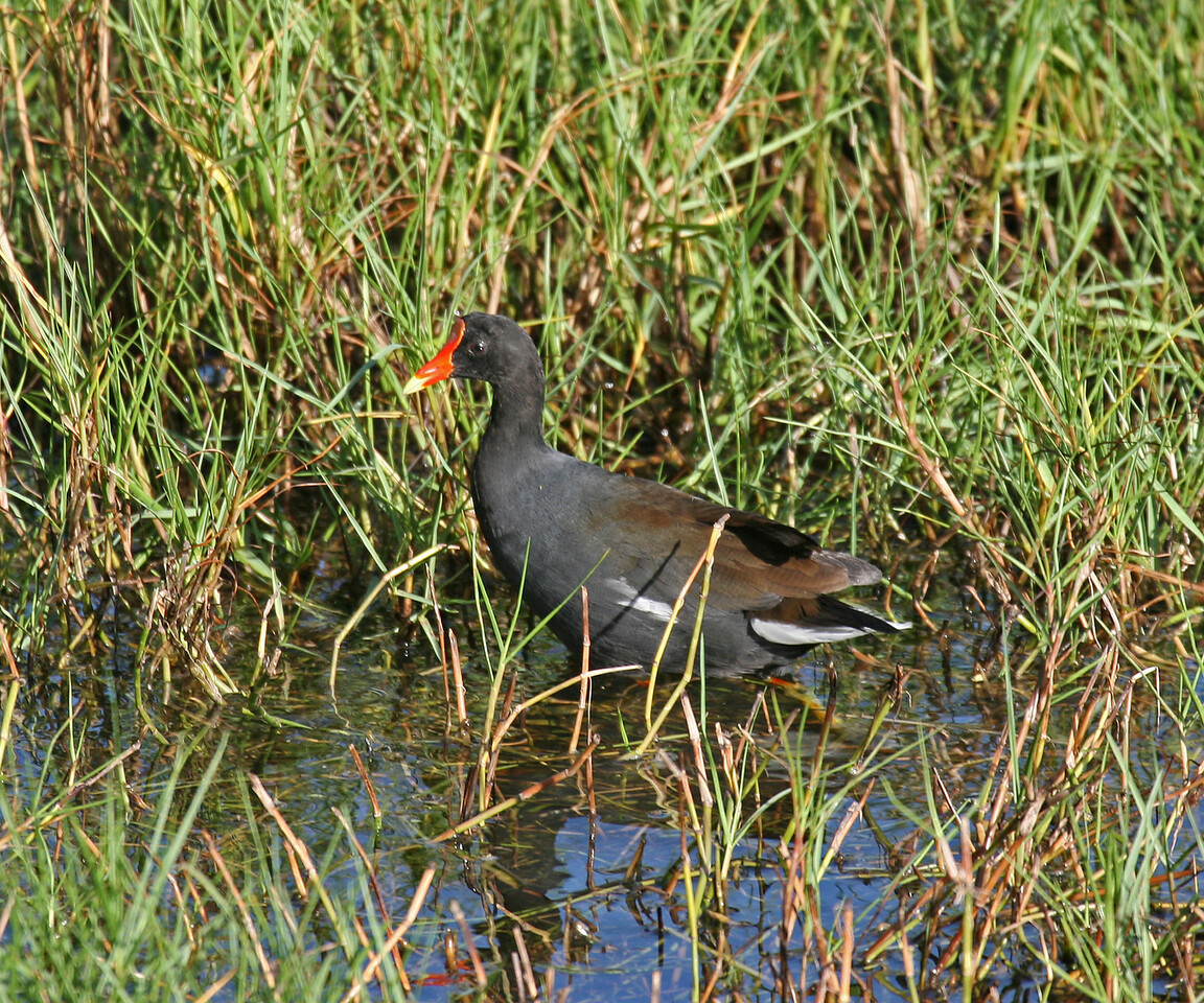Common Moorhen ( Hawaiian Gallinule) - Oahu
