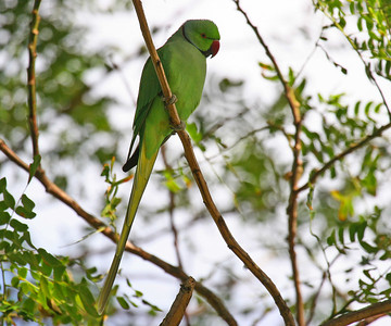 Rose-ringed Parakeet - Oahu