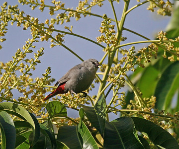 Lavender Waxbill  - Island of Hawaii