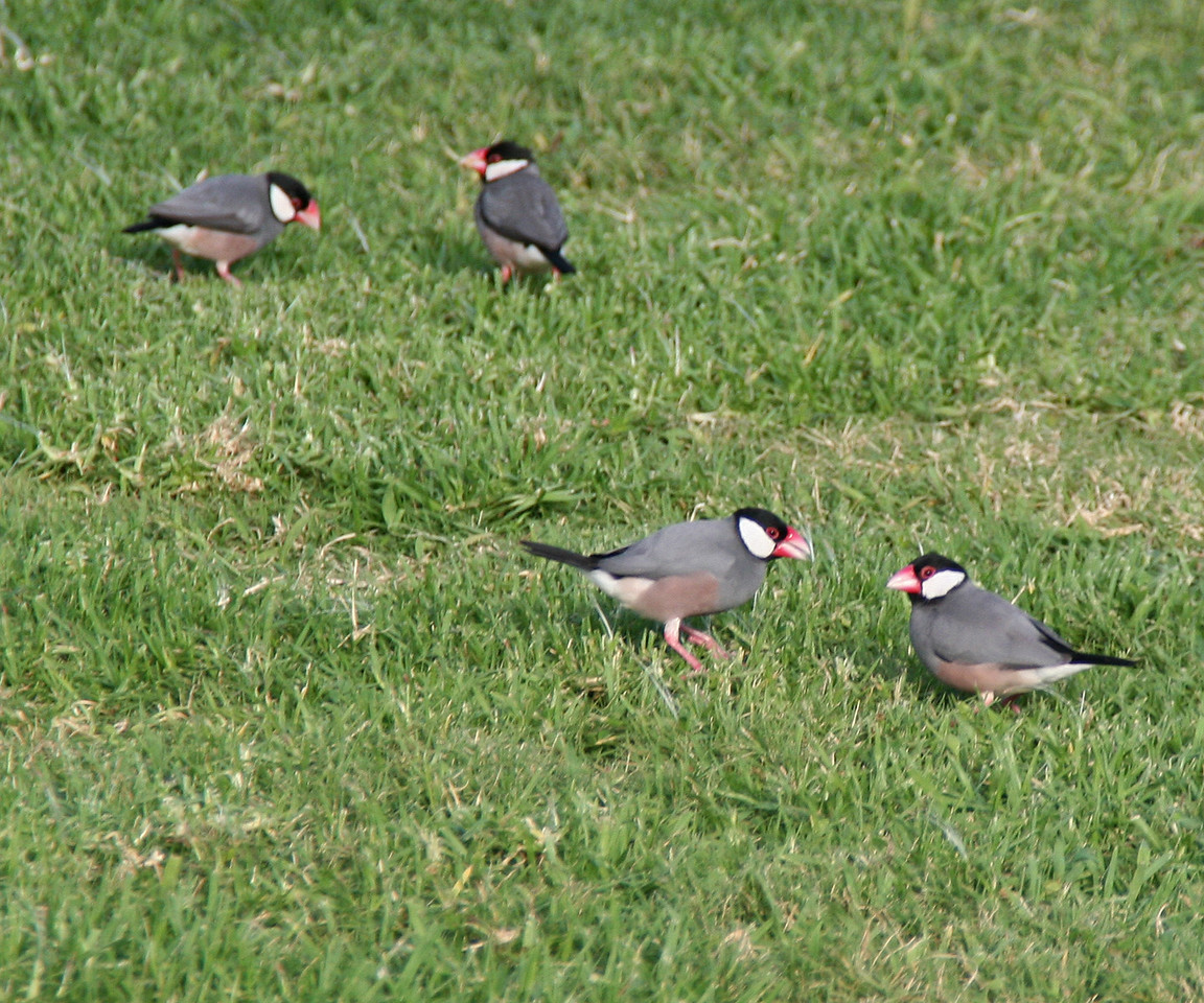 Java Sparrow - Oahu