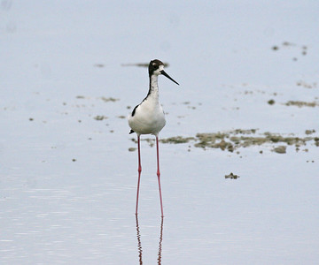 Black-necked Stilt (Hawaiian Stilt) - Maui