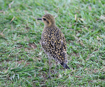 Pacific Golden Plover - Maui
