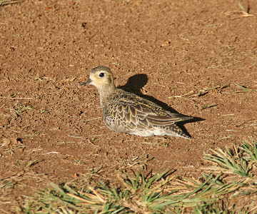 Pacific Golden Plover - Oahu