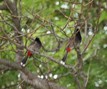 Red-vented Bulbul - Oahu
