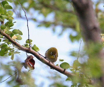 Japanese White-eye - Island of Hawaii