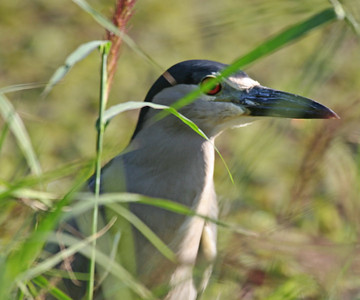 Black-crowned Night-Heron - Oahu