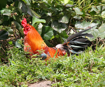 Red Junglefowl Cock - Maui