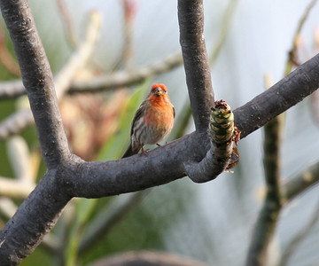 House Finch - Oahu