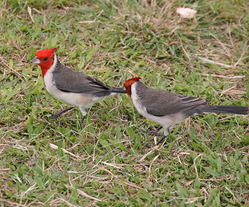 Red-crested Cardinal - Oahu