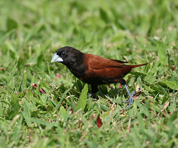 Chestnut Munia - Oahu