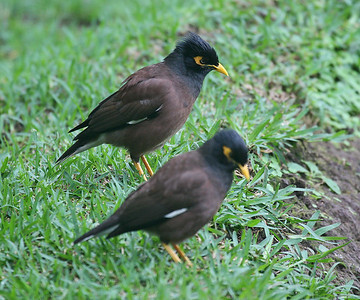 Common Myna - Maui