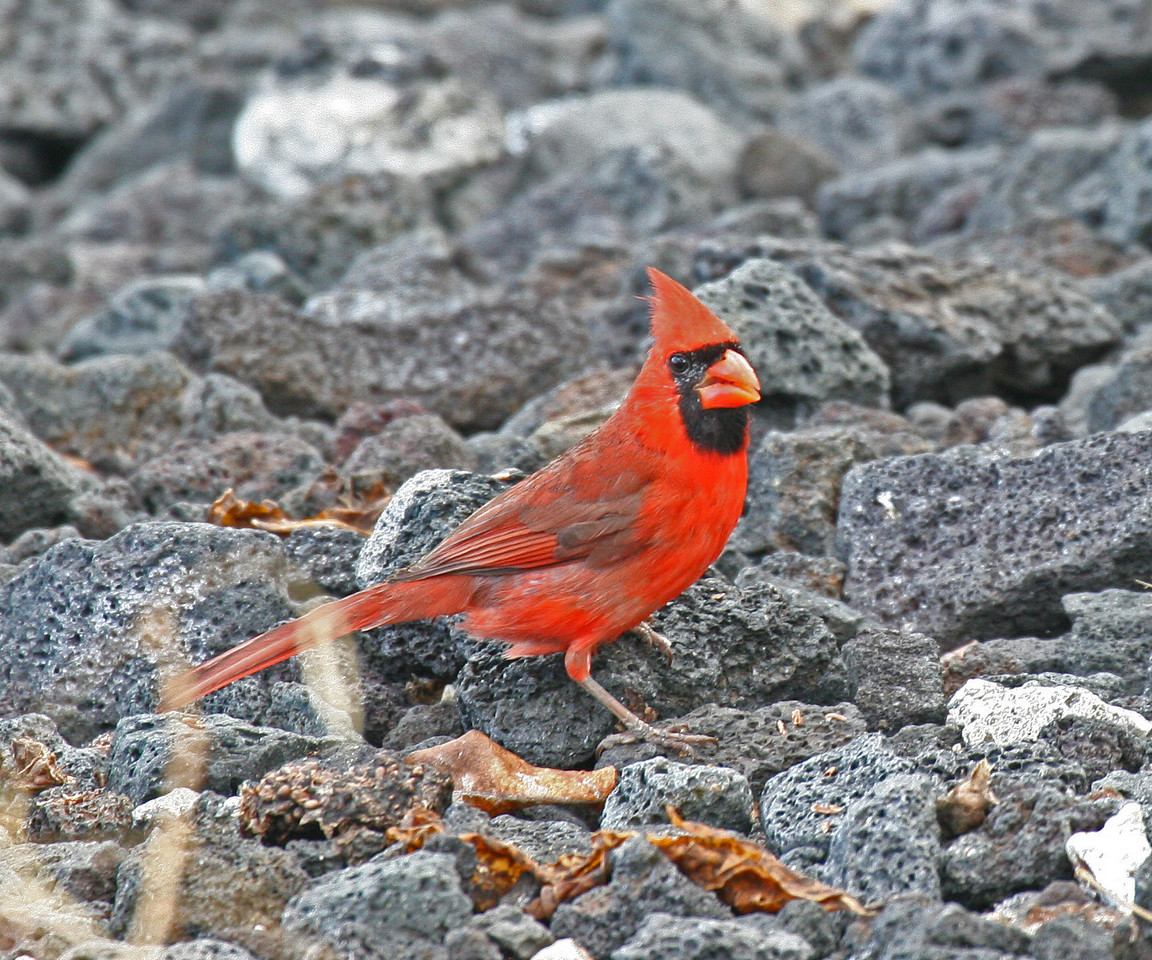 Northern Cardinal - Island of Hawaii