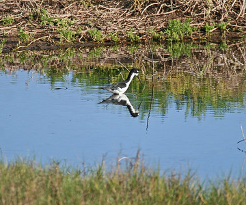 Black-necked Stilt (Hawaiian Stilt) - Oahu
