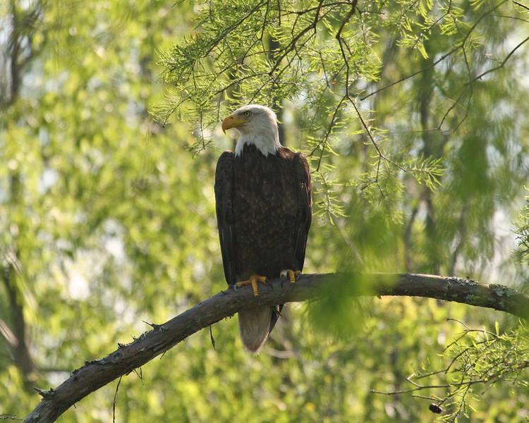 Bald Eagle -  Atchafalaya Swamp - Henderson, LA