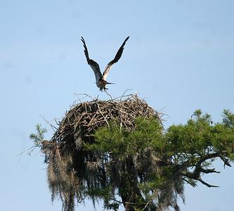Osprey Leaving Nest - Atchafalaya Swamp - Henderson, LA
