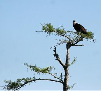 Osprey - Atchafalaya Swamp - Henderson, LA