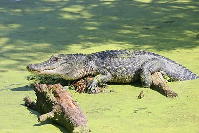 Big Alligator - Chicot State Park - Ville Platte, LA